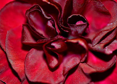 Red Carnation With Heart Print by Sandi OReilly