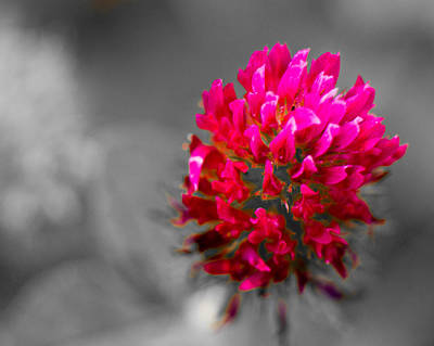 Photograph - Red Clover Blossom by Barry Jones