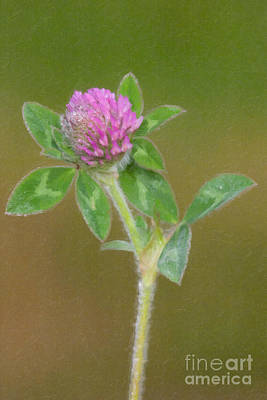 Photograph - Red Clover In Oil by Clarence Holmes