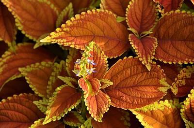Photograph - Red Coleus by John Black