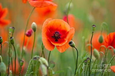 Red Corn Poppy Flowers 07 Art Print