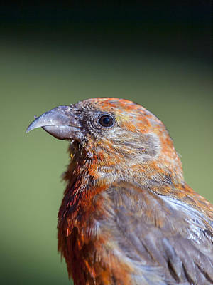Crossbill Photograph - Red Crossbill by Derek Holzapfel