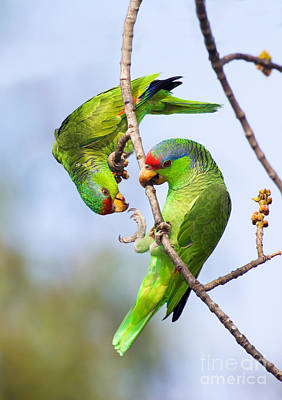 Amazona Photograph - Red-crowned Amazon Pair by Anthony Mercieca and Photo Researchers