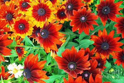 Photograph - Red Daisies  by Bill Thomson