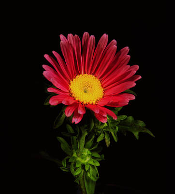 Photograph - Red Daisy. by Chris  Kusik