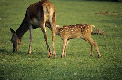 Nursing Deer Photograph - Red Deer Calf Suckling by David Aubrey
