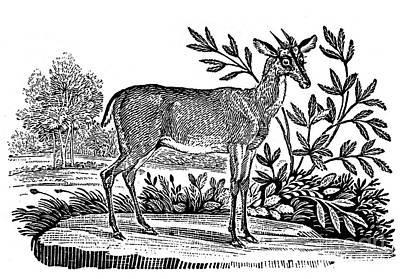 Bewick Photograph - Red Deer by Granger
