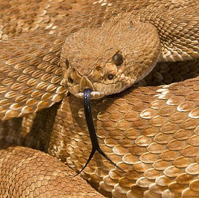 Cal State Photograph - Red-diamond Rattlesnakecrotalus Ruber by Jack Goldfarb