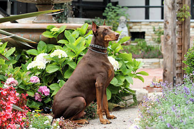 Red Doberman In Church Garden Art Print