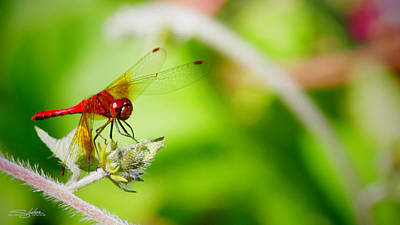 Red Dragon Fly Art Print
