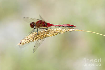 Red Dragonfly Art Print by Sharon Talson