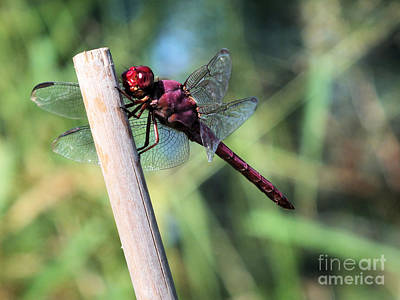 Photograph - Red Dragonfly by Tammy Herrin