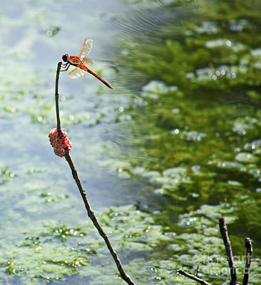 Photograph - Red Dragonfly With Snail Eggs by Terri Mills