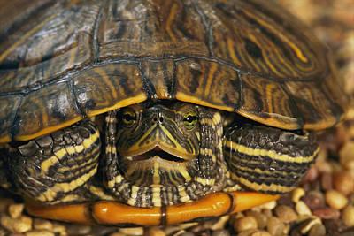 Slider Photograph - Red-eared Slider Turtle Hiding by Darlyne A. Murawski