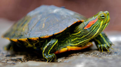 Red Eared Slider Turtle Side View Art Print by Kelly Riccetti