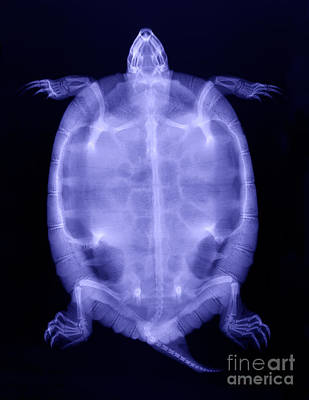 Slider Photograph - Red-eared Slider Turtle X-ray by Ted Kinsman