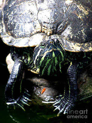 Photograph - Red Earred Slider Turtle Pose Photography by Kristen Fox