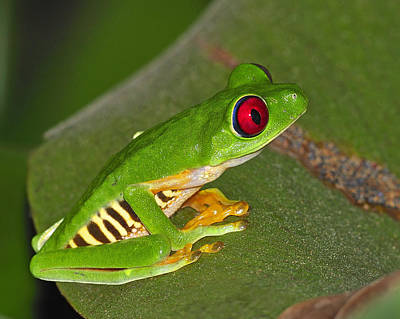 Forerst Photograph - Red-eyed Leaf Frog by Tony Beck