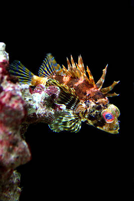 Photograph - Red Eyed Scorpion Fish by Jennifer Bright