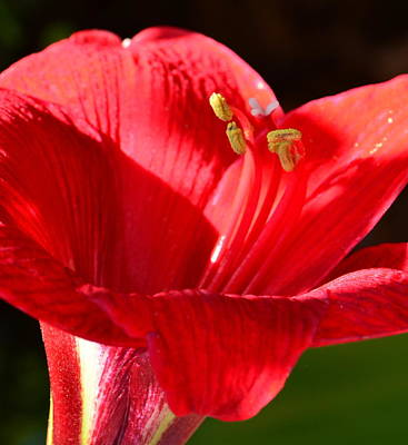 Art Print featuring the photograph Red Faced Lily by Tanya Tanski