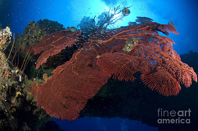 Photograph - Red Fan Cora With Sunburst, Papua New by Steve Jones