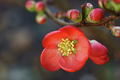 Focus On Foreground Photograph - Red Flowering Quince by Picture By La-ong