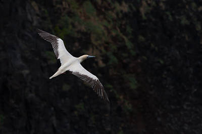 Photograph - Red Footed Booby by Roger Mullenhour
