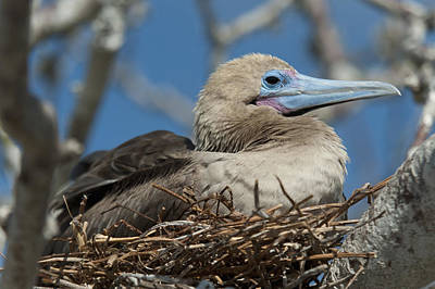 Red-footed Booby Sula Sula Sitting In A Print by Keith Levit