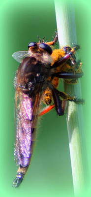 Red-footed Cannibal Fly With His Prey Art Print by Maureen  McDonald