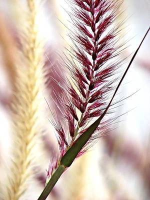 Photograph - Red Fountain Grass by Carolyn Marshall
