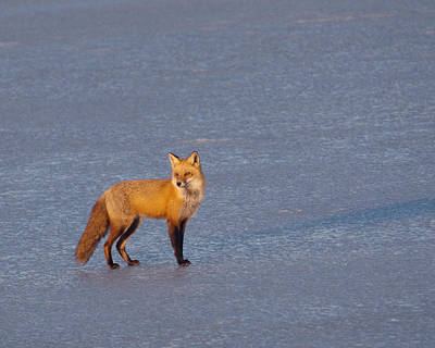Photograph - Red Fox At Sunrise by Craig Leaper