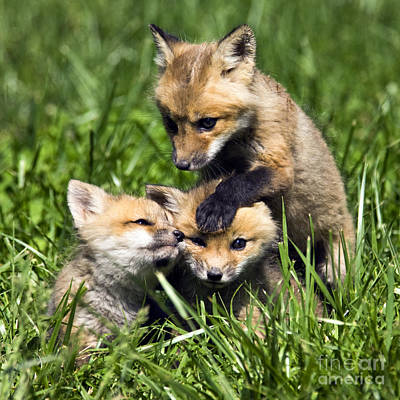 Photograph - Red Fox Babies - D006647 by Daniel Dempster