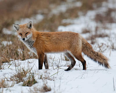 Photograph - Red Fox by Craig Leaper