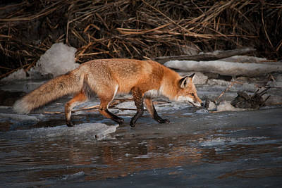 Photograph - Red  Fox Crossing by Craig Leaper