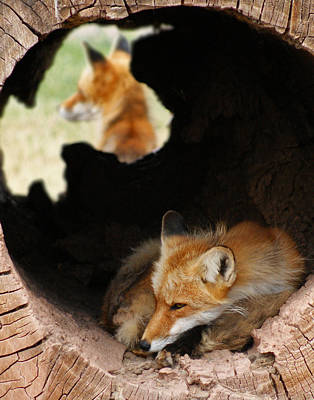 Photograph - Red Fox Dreaming by Ernie Echols