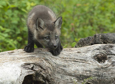 Photograph - Red Fox Kit by Sandra Bronstein