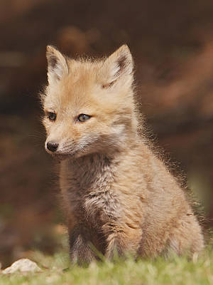 Photograph - Red Fox Kitt by Dale J Martin