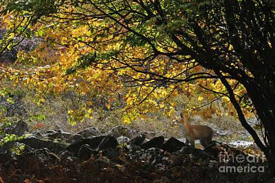 Photograph - Red Fox On Alert by Dan Friend