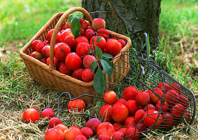 Branch Photograph - Red Fresh Plums In The Basket by Lanjee Chee
