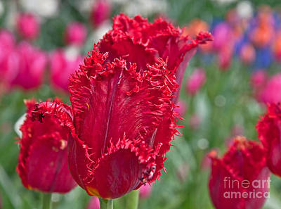 Photograph - Red Fringed Tulip Flower Macro Art Prints by Valerie Garner