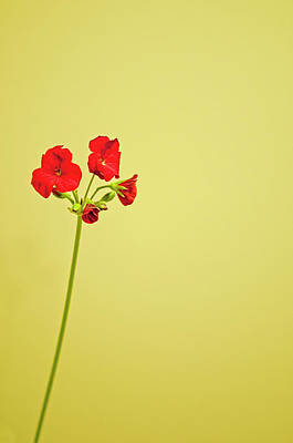 Red Geranium Art Print by Gail Shotlander