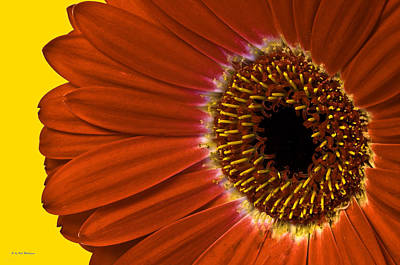 Photograph - Red Gerber Daisy by Bob Mulligan