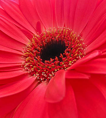Photograph - Red Gerbera Daisy by Fiona Messenger