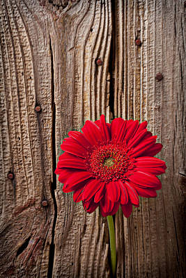 Red Gerbera Daisy With Wooden Wall Art Print by Garry Gay
