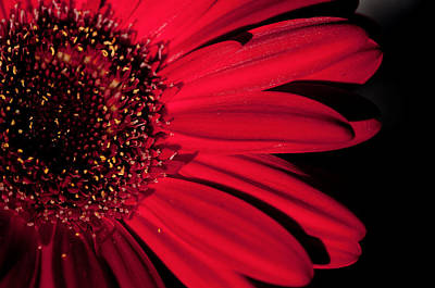 Red Gerbera Art Print