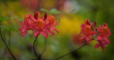 Rhodie Photograph - Red Groups by Mike Reid