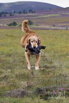 Photograph - Red Grouse Retrieve - D007989 by Daniel Dempster