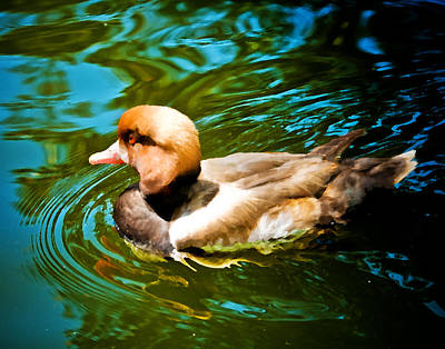 Red Head Duck Print by Mickey Clausen