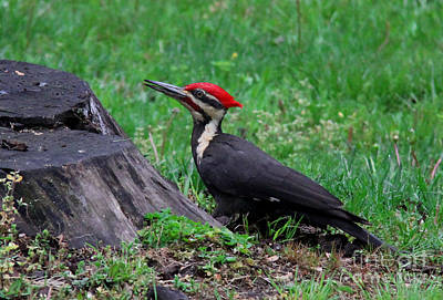 Photograph - Red Head Woodpecker by Lee Dos Santos