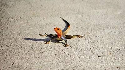 Photograph - Red Headed Agama Lizard by Lynda Dawson-Youngclaus